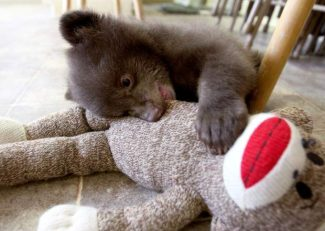 A 6-pound black bear that was dropped off at BEAR League offices in Homewood chews on a stuffed animal at Lake Tahoe Wildlife Care last week.