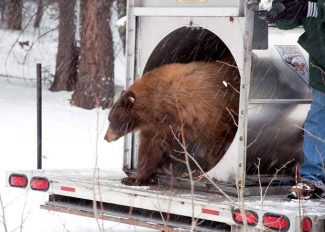 A mother bear, deemed a nuisance by the Nevada Department of Wildlife, and her cubs were released in the Carson Range last October after being trapped at Lake Tahoe by game wardens.