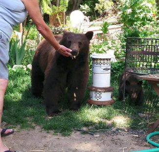 A reader provided this photo to the North Lake Tahoe Bonanza, showing bears being fed by a homeowner in an Incline Village neighborhood. The Nevada Department of Wildlife last week warned the woman — Jane Green — for illegally feeding wildlife.