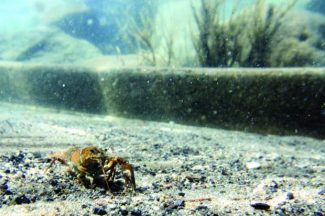 A crayfish explores the Castle Rock boat launch. Tahoe Lobster Company will begin selling Tahoe crayfish to buyers in the United Kingdom and other parts of Europe this year. Learn more about the company at www.tahoelobstercompany.com.