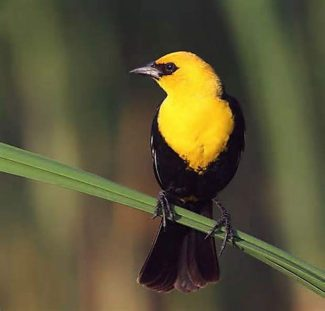 Yellow-headed Blackbirds can be found at the Upper Truckee Marsh.
