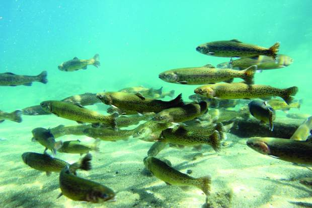 Tahoe trout season opens with low water lots of fish for Shore fishing lake tahoe
