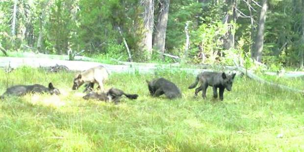 Shasta pack suggests evidence of return of gray wolves for California department of fish and wildlife jobs