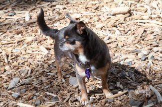 Julie is a very adorable little girl. She is a 5-year-old spunky and very cuddly Chihuahua that needs a loving family.