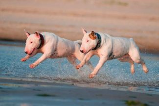 two bull terrier dogs jumping in unison