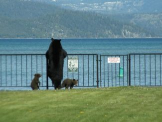 In the spring of 2014, Neal Simmons took this photo of a bear and her two cubs surveying Lake Tahoe from grass near the Tahoe Keys Marina in South Lake Tahoe.