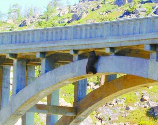 Dan Olson / Truckee Animal Control /  A bear hangs from Rainbow Bridge near Donner Summit on Sunday morning after falling over the rail. The bear was later rescued by animal control and the BEAR League after spending Saturday night under the bridge.