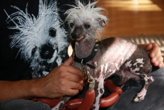 Jennifer  Kalashian / Tahoe Daily TribuneRascal has been voted several times over as the 'World's Ugliest Dog.' He and his owner Dane Andrew live at Lake Tahoe and Sunnyvale.