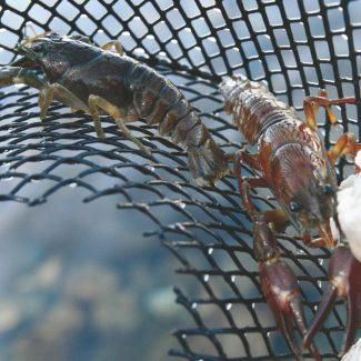 Published Caption: Crustacean critters Crawfish, crawdad, crayfish — whatever you call 'em, these tasty little treats abound in Lake Tahoe's clear waters. Read about the best ways to catch and eat them in Sports & Outdoors, page 30.