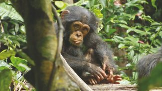 """Oscar the baby chimp is caught in the middle of the circle of life in Disney's """"Chimpanzee."""""""
