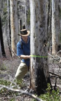 In this photo taken Monday, May 28, 2012 Chad Hanson, executive director of the John Muir Project,  marks a tree, slated to be removed, that holds the nest and chicks of the rare black-backed woodpecker, at the site of the 2007 Angora fire near South Lake Tahoe, Calif.  Rare woodpecker chicks in burned forest stands at Lake Tahoe won't survive if the U.S. Forest Service proceeds with a contentious post-fire logging project, according to conservationists pressing the agency to postpone cutting around the trees until after the nesting season in August. (AP Photo/Rich Pedroncelli)