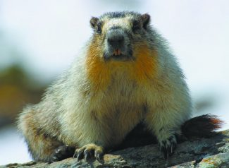 Ubiquitous in the high Sierra, some yellow-bellied marmots are shy, some bold and all are photogenic.