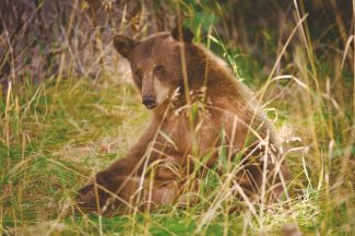 Scott Sady / Provided to the Sierra SunA black bear is shown near Taylor Creek in South Lake Tahoe. Senate bill 1221, which Gov. Jerry Brown signed on Wednesday, will ban the use of hounds to hunt both bears and bobcats.