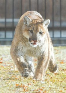 Published Caption: A mountain lion roamed the Tahoe Keys in this Tribune file photo. Lions have been recently spotted at Heavenly Mountain Resort.