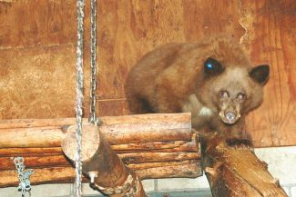Axie Navas / Tahoe Daily TribuneThe male cub who lost his mother Oct. 4 on Highway 89 near Luther Pass prowls through the bear play area of Lake Tahoe Wildlife Care Wednesday. LTWC's Tom Millham said the facility has never had this many bears at the same time.