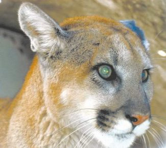 Nevada Division of WildlifeA move to make mountain lions an unprotected species has put the big cats in the middle of a debate.