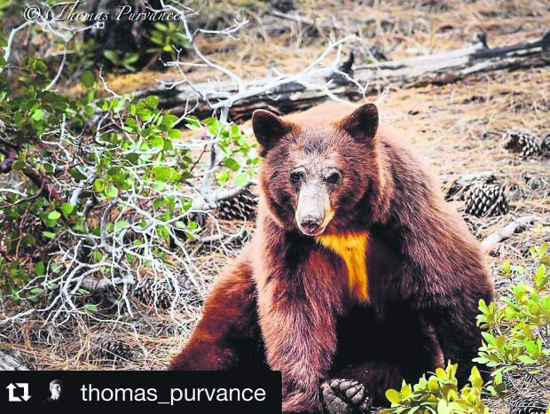 The bears are out in Tahoe. Submitted using #TahoeSnaps.