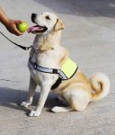 A service animal is trained to perform necessary tasks.