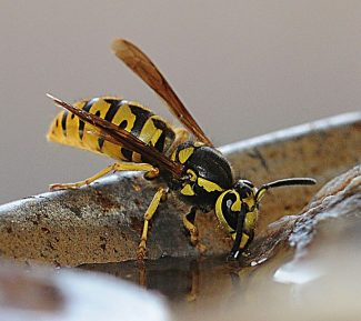 The buzz on wasps: high populations linked to mild winter