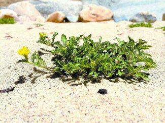 A Tahoe yellow cress flower sits near the shoreline of Lake Tahoe.