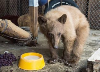 "The young black bear dubbed ""Heavenly"" after he was  found injured and approaching people at Heavenly Ski Resort in March must spend his life in captivity because he is too accustomed to people."