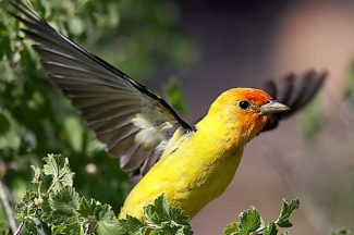 The western tanager is one of many migratory birds visiting Lake Tahoe this time of year.