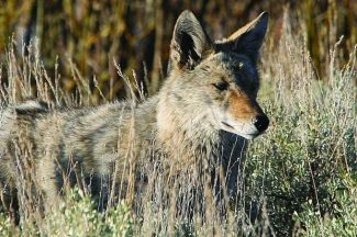 A coyote peers out of a Lake Tahoe-area meadow during a previous summer season.