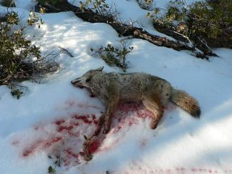 A coyote was found shot to death on U.S. Forest Service land behind a home on Ottawa Drive.