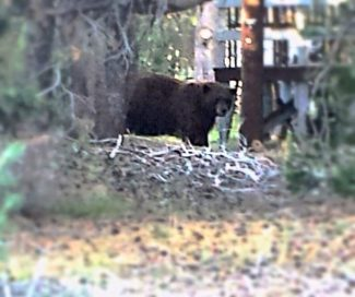Black and brown bears need respect. Give them space and make sure they stay wild. Bears don't like to be watched and they like their peace. Be sure to take precautionary measures so they don't get into trash or homes.