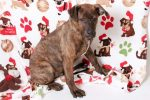 Chester is 5 months old. He is a fila-mastiff, pit-bull mix so he is going to be a big dog. Chester needs a family without children under 12 that is committed to taking him to training classes. He loves to play with other dogs and did not chase the cats that he met here..