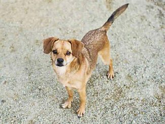 Hi, my name is Duke. I am 5 years old and a good dog.  I walk nicely on my leash. I do well with other dogs and I like to play with them, but I would like to meet yours before going home with you. I was surrendered because I kept escaping my yard, so I would be best on a runner when left outside. I need a patient owner who will spend time house training me, I would do better wearing belly bands. Please come visit Duke at The El Dorado County Animal Services, 530-573-7925. For Spay-Neuter services and other support, call the Lake Tahoe Humane Society for the Prevention of Cruelty to Animals at 530-542-2857.