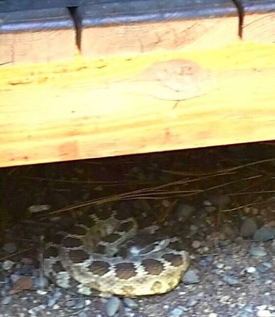 This 3- to 4-foot long rattlesnake was found under a porch on Treehaven Drive in South Lake Tahoe by Chad Davis late Tuesday morning. El Dorado County Animal Services in South Lake Tahoe sent an Animal Services officer who safely captured the snake and relocated it to an unpopulated area of the county. There was no known contact with the snake and no injuries were reported. Rattlesnakes are commonly seen on the West Slope of El Dorado County. They are a fairly uncommon in the South Lake Tahoe area. According to Lt. Robert Gerat, Supervising Animal Control Officer for El Dorado County Animal Services in South Lake Tahoe, he cannot recall his office receiving any rattlesnake-related calls for the Tahoe area in the more than 20 years he has worked for the agency. Gerat suggests if someone encounters a rattlesnake to back away slowly and try not to interact with the snake. Most snakes will retreat if given enough room. Information and safety tips related to rattlesnakes can be found at https://www.wildlife.ca.gov/News/Snake. A video of Tuesday's rattlesnake capture can be viewed at www.tahoedailytribune.com.