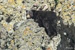 Black bears in the Lake Tahoe region typically enter hibernation between Thanksgiving and Christmas, according to Chris Healy, public information officer for the Nevada Department of Wildlife.