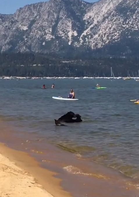 A mother bear and her two cubs swim at Pope Beach.