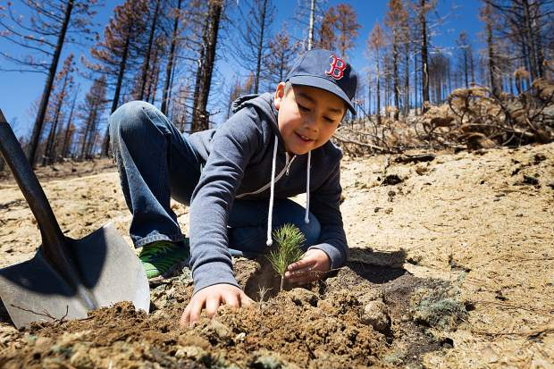 A young volunteer for the Sugar Pine Foundation plants a seedling in the Emerald Fire burn area on Saturday, May 13.