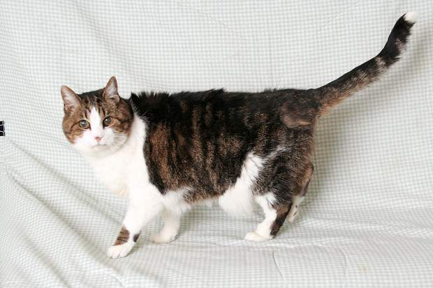 Erin is a very sweet, middle-aged girl. She is playful and enjoys sitting on laps. Erin, was found as a stray, would fit into most families well. To inquire about Gaston or any of the other animals at the El Dorado County shelter, please call 530-573-7925. Gaston, last week's pet of the week, is still looking for a home. Animal Coalition of Tahoe spay-neuter vouchers are now available at the shelter.