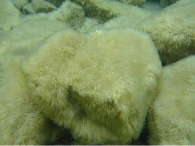 Thick, furry growth of attached algae (periphyton) coating submerged rocks 3-4 feet deep, on north shore of Lake Tahoe on April 25.