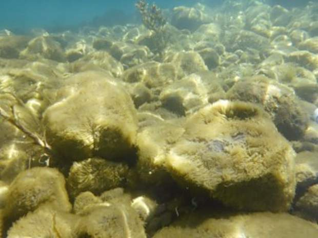 Thick, furry growth of attached algae (periphyton) coating submerged rocks 3-5 feet deep, south of Tahoe City on April 10.