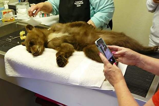 A young bear cub is recovering after being hit by a car on Tahoe's West Shore on July 4.