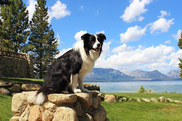 Three-year-old Luke has been patrolling Edgewood Tahoe's golf course for geese for just under three years.