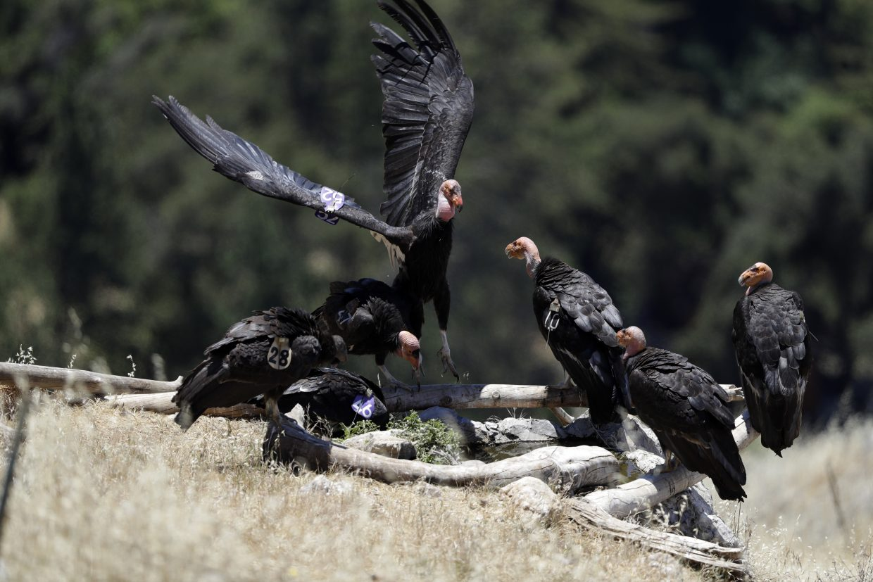 In this Wednesday, June 21, 2017 photo, California condors huddle around a watering hole in the Ventana Wilderness east of Big Sur, Calif. Three decades after being pushed to the brink of extinction, the California condor is staging an impressive comeback, thanks to captive-breeding programs and reduced use of lead ammunition near their feeding grounds.
