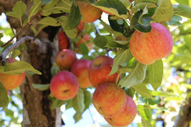 Apple Hill, west of Lake Tahoe, has over a dozen you-pick orchards.