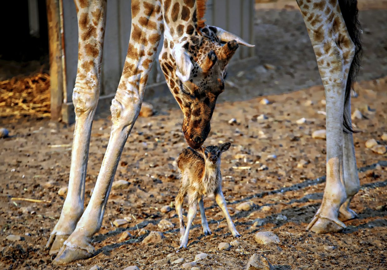 In this Friday, Oct. 13, 2017, photo provided by Will Bucquoy shows a newborn baby antelope enjoying the special attention by a giraffe at Safari West in Santa Rosa, Calif. The days-old endangered baby antelope born amid the Northern California wildfires has died. Aphrodite Caserta, spokeswoman for Sonoma County's Safari West, said Tuesday, Oct. 17, the cause of the animal's death is unknown.