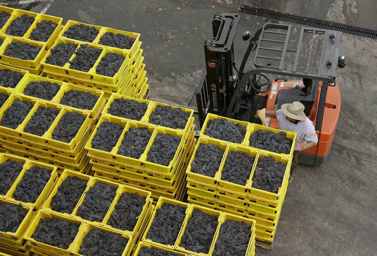 A worker looks over bins of Cabernet Sauvignon grapes he placed on the crush pad during harvest at the Cardinale winery Thursday, Oct. 19, 2017, in Oakville, Calif. The winery reopened to the public Thursday after being closed during last week's wildfires. The wildfires that have devastated California this month caused at least $1 billion in damage to insured property, officials said Thursday, as authorities raised the number of homes and other buildings destroyed to nearly 7,000.