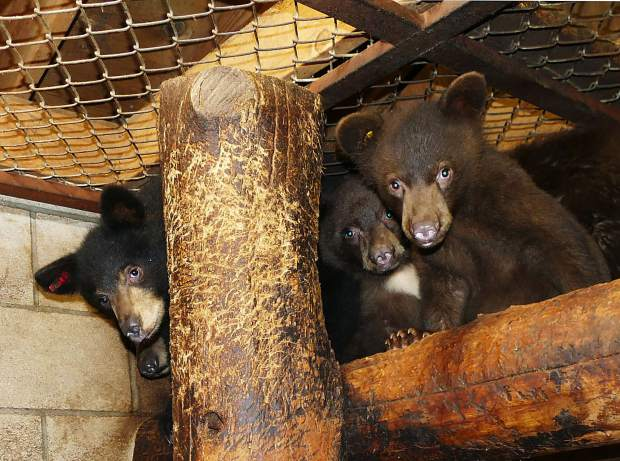 Some of the 2017 cubs at Lake Tahoe Wildlife Care. Filmore is the cub with the red ear tag on the left side of the photo.
