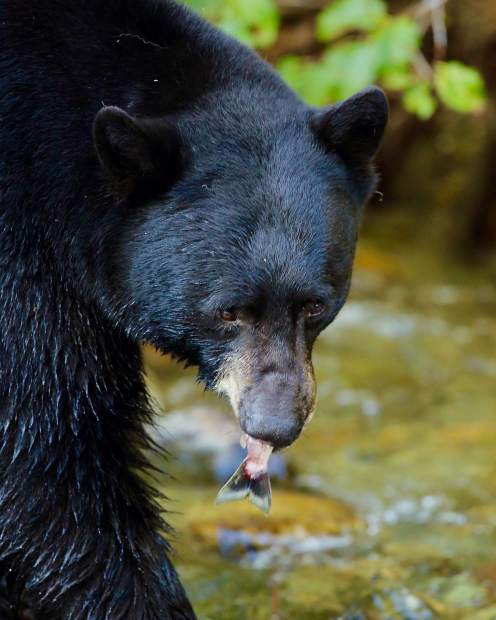 Black bears stock up on the salmon in Taylor Creek as they prepare for hibernation.