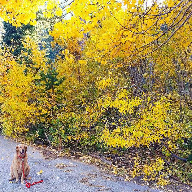 Yellow walks with my yellow dog.