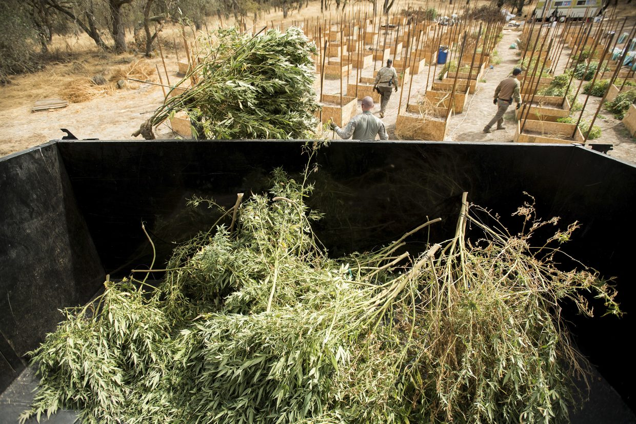 In this Sept. 29, 2017 photo, sheriff's deputies seize marijuana from a growing operation in unincorporated Calaveras County, Calif. Marijuana has deeply divided the financially strapped county and it is among many now grappling with a pot economy where growers have become increasingly open about their operations and have begun encroaching on residential neighborhoods.