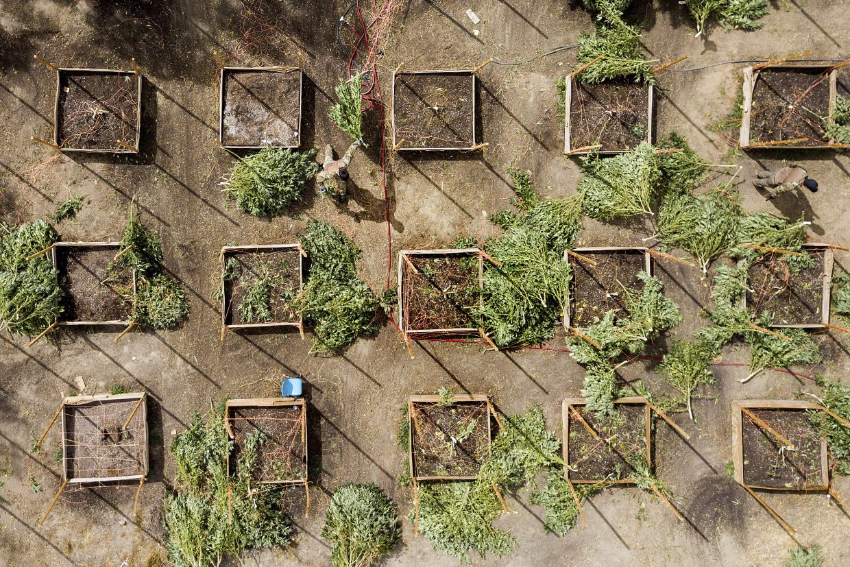 In this Sept. 29, 2017 photo, sheriff's deputies seize marijuana from a growing operation in unincorporated Calaveras County, Calif. Marijuana has deeply divided the Northern California county in the Sierra Nevada foothills. Calaveras County Sheriff Rick DiBasilio says he has his hands full cracking down on thousands of illegal farms in a county that has legalized cultivation for medicinal use.