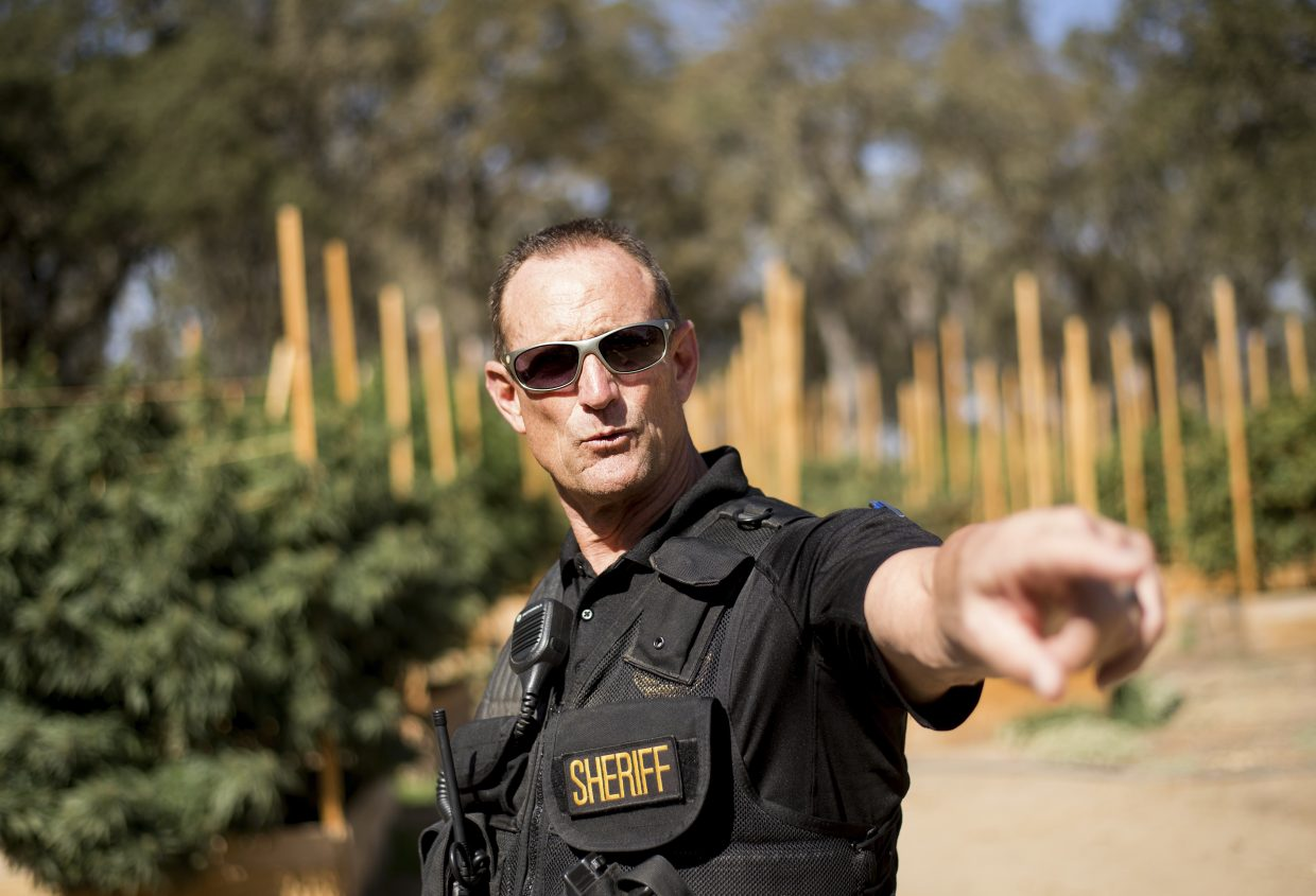 In this Sept. 29, 2017 photo, Calaveras County Sheriff Rick DiBasilio gestures while raiding a marijuana growing operation in unincorporated Calaveras County, Calif. DiBasilio says he has his hands full cracking down on thousands of illegal farms in a county that has legalized cultivation for medicinal use. Growers illegal and legal have are increasingly open about their operations and starting to encroach on neighborhoods.